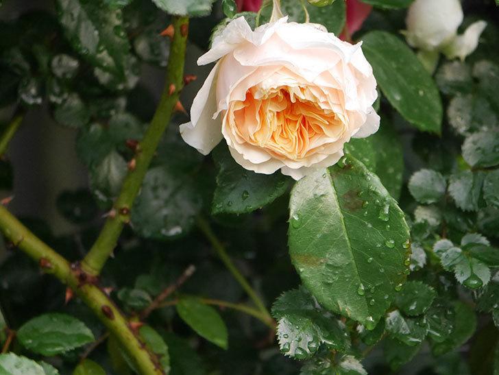 ジンジャー・シラバブ(ツルバラ)の花が増えてきた。2020年-001.jpg