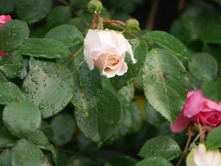 ジンジャー・シラバブ(ツルバラ)の花が増えてきた。2020年-001 (1).jpg