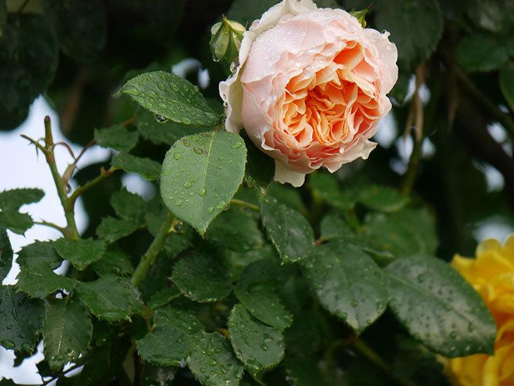 ジンジャー・シラバブ(ツルバラ)の花が増えてきた。2020年-002.jpg