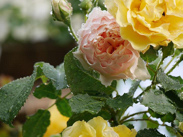 ジンジャー・シラバブ(ツルバラ)の花が増えてきた。2020年-003.jpg