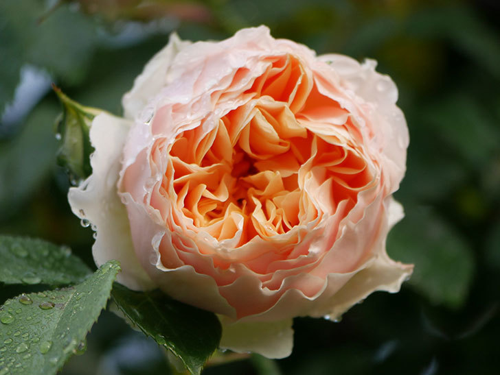 ジンジャー・シラバブ(ツルバラ)の花が増えてきた。2020年-004.jpg