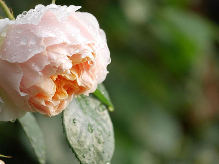 ジンジャー・シラバブ(ツルバラ)の花が増えてきた。2020年-005.jpg