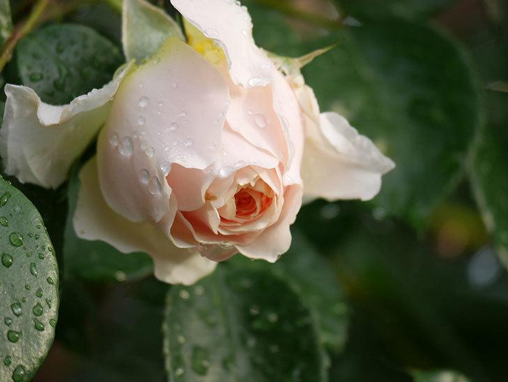 ジンジャー・シラバブ(ツルバラ)の花が増えてきた。2020年-006.jpg