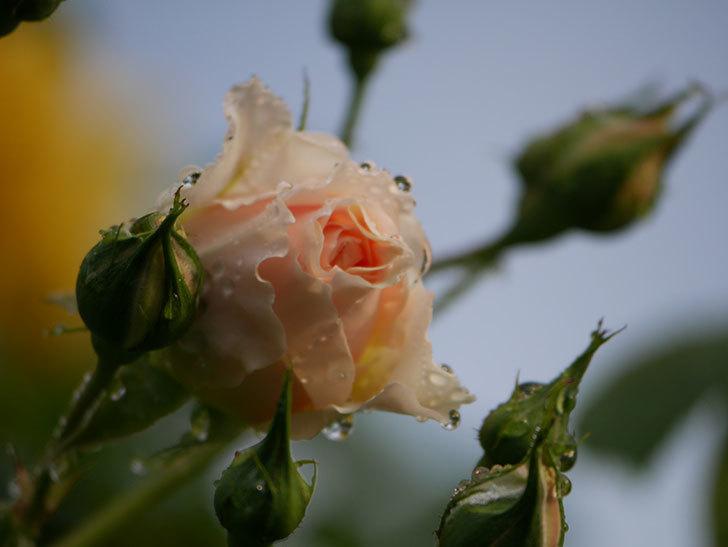 ジンジャー・シラバブ(ツルバラ)の花が増えてきた。2020年-007.jpg