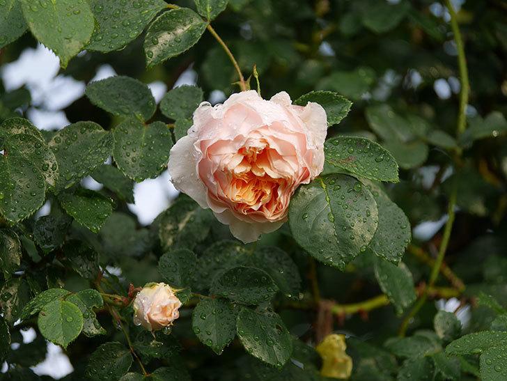 ジンジャー・シラバブ(ツルバラ)の花が増えてきた。2020年-008.jpg