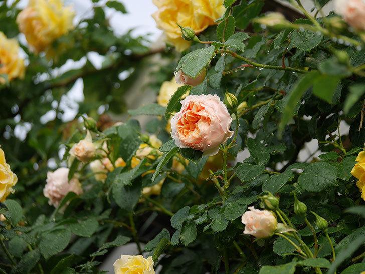 ジンジャー・シラバブ(ツルバラ)の花が増えてきた。2020年-009.jpg