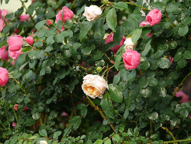 ジンジャー・シラバブ(ツルバラ)の花が増えてきた。2020年-010.jpg