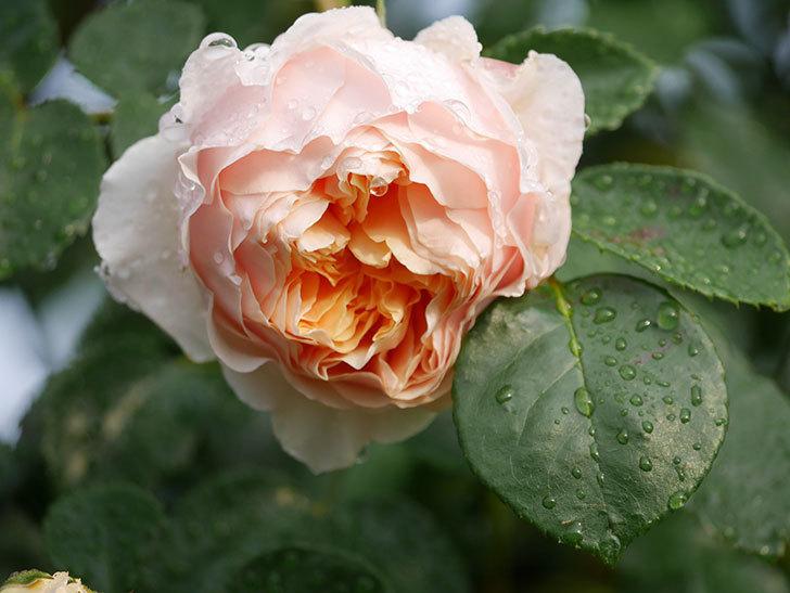 ジンジャー・シラバブ(ツルバラ)の花が増えてきた。2020年-011.jpg