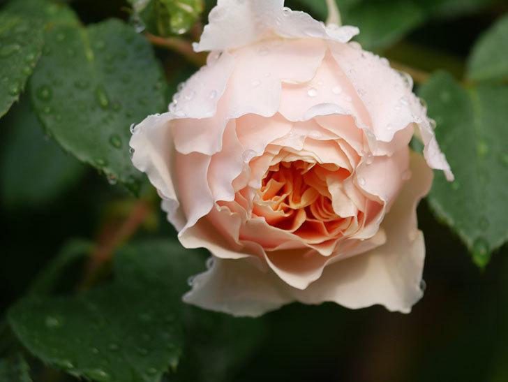 ジンジャー・シラバブ(ツルバラ)の花が増えてきた。2020年-012.jpg