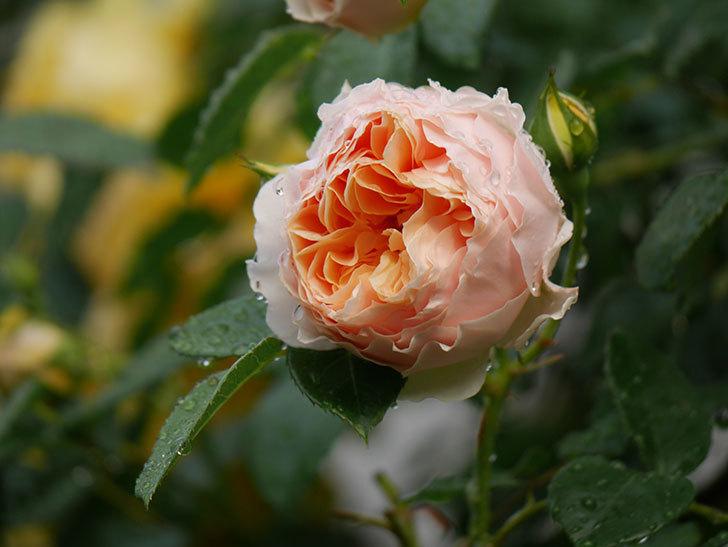ジンジャー・シラバブ(ツルバラ)の花が増えてきた。2020年-013.jpg