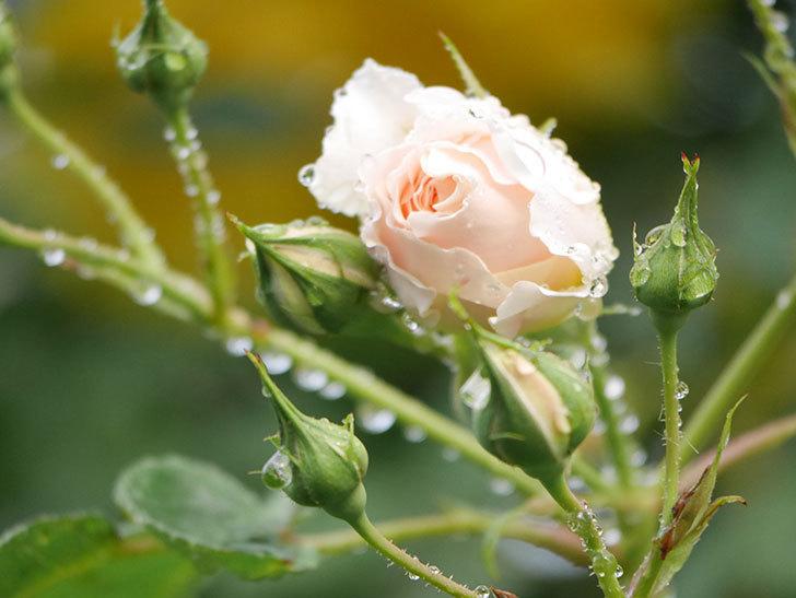 ジンジャー・シラバブ(ツルバラ)の花が増えてきた。2020年-014.jpg