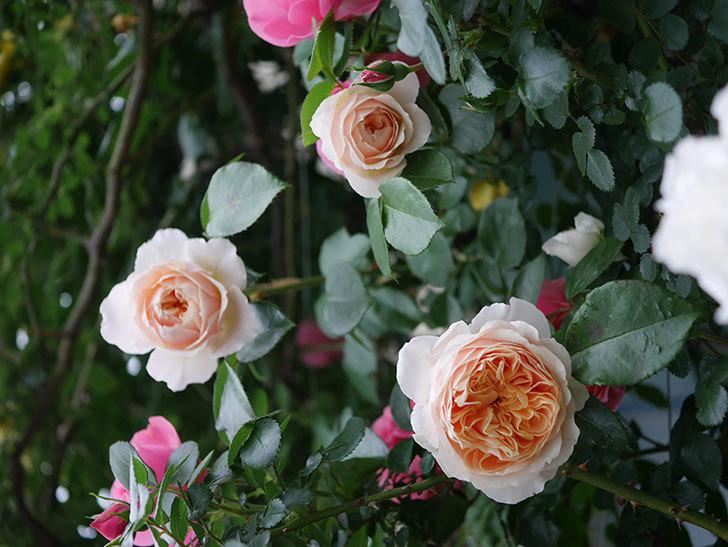 ジンジャー・シラバブ(ツルバラ)の花が増えてきた。2020年-016.jpg