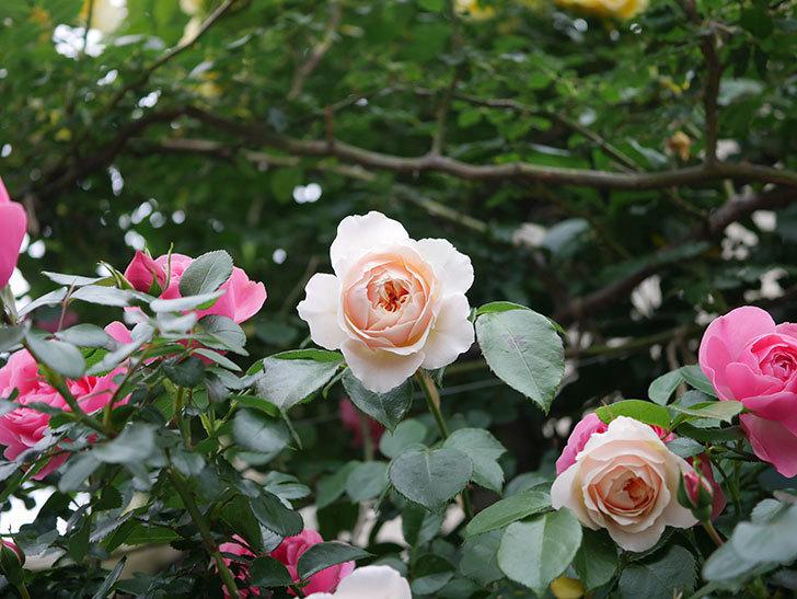 ジンジャー・シラバブ(ツルバラ)の花が増えてきた。2020年-017.jpg