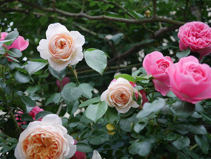 ジンジャー・シラバブ(ツルバラ)の花が増えてきた。2020年-018.jpg