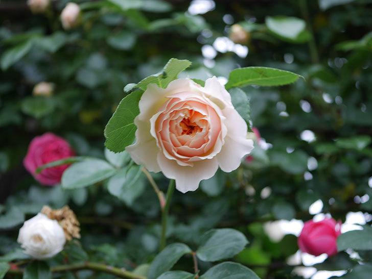 ジンジャー・シラバブ(ツルバラ)の花が増えてきた。2020年-019.jpg