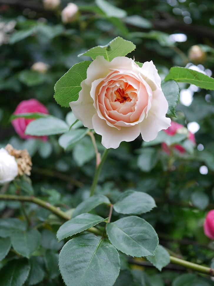 ジンジャー・シラバブ(ツルバラ)の花が増えてきた。2020年-020.jpg