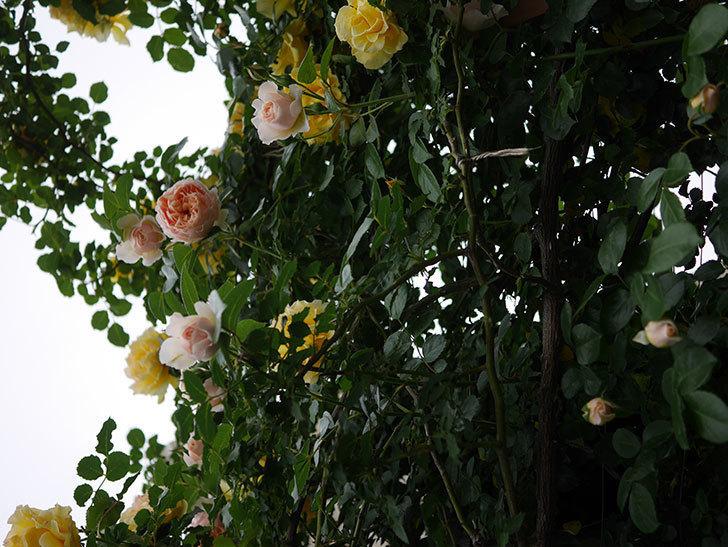 ジンジャー・シラバブ(ツルバラ)の花が増えてきた。2020年-022.jpg
