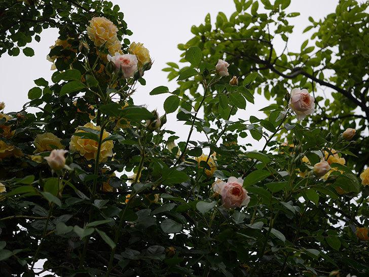 ジンジャー・シラバブ(ツルバラ)の花が増えてきた。2020年-023.jpg