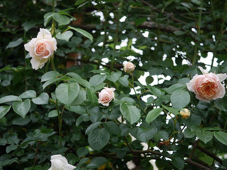 ジンジャー・シラバブ(ツルバラ)の花が増えてきた。2020年-024.jpg