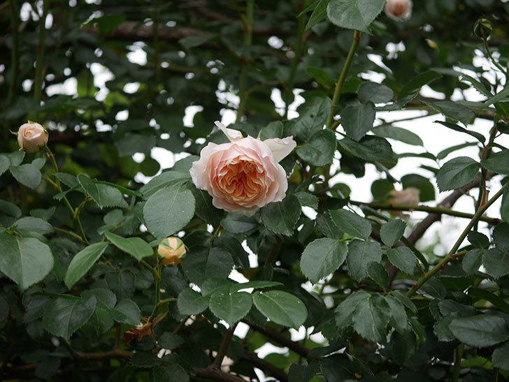 ジンジャー・シラバブ(ツルバラ)の花が増えてきた。2020年-025.jpg