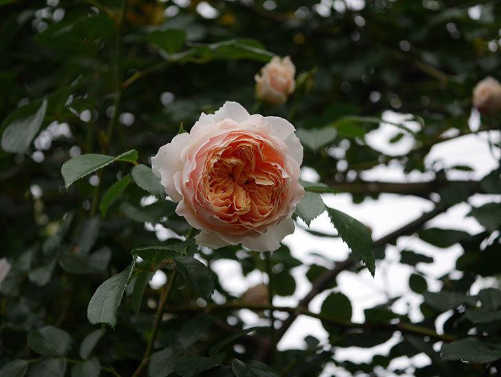 ジンジャー・シラバブ(ツルバラ)の花が増えてきた。2020年-026.jpg