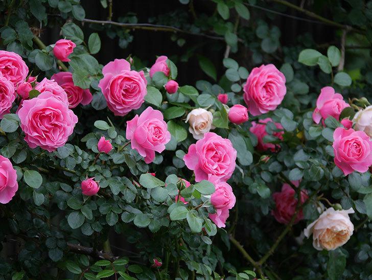 ジンジャー・シラバブ(ツルバラ)の花が増えてきた。2020年-027.jpg