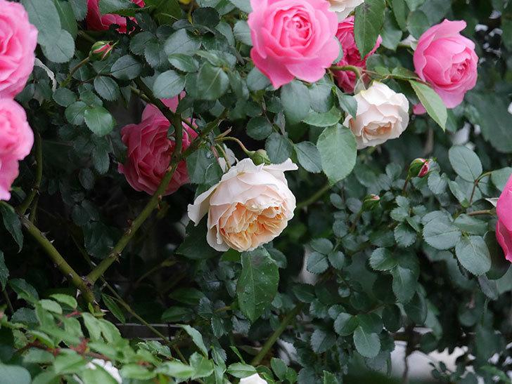 ジンジャー・シラバブ(ツルバラ)の花が増えてきた。2020年-029.jpg