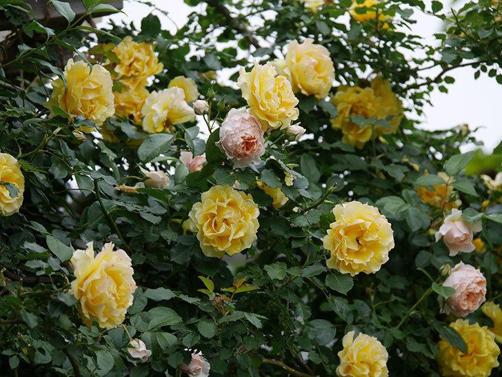 ジンジャー・シラバブ(ツルバラ)の花が増えてきた。2020年-030.jpg