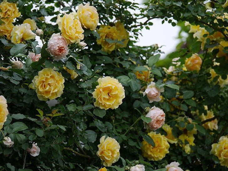 ジンジャー・シラバブ(ツルバラ)の花が増えてきた。2020年-031.jpg