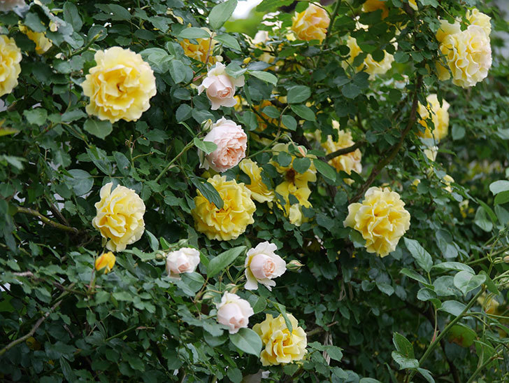 ジンジャー・シラバブ(ツルバラ)の花が増えてきた。2020年-032.jpg