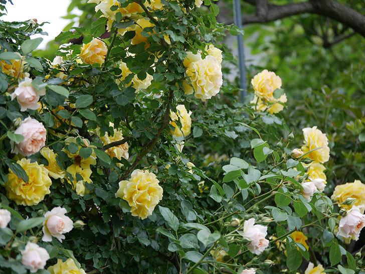 ジンジャー・シラバブ(ツルバラ)の花が増えてきた。2020年-033.jpg