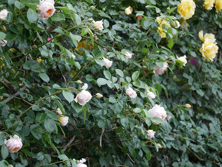 ジンジャー・シラバブ(ツルバラ)の花が増えてきた。2020年-034.jpg
