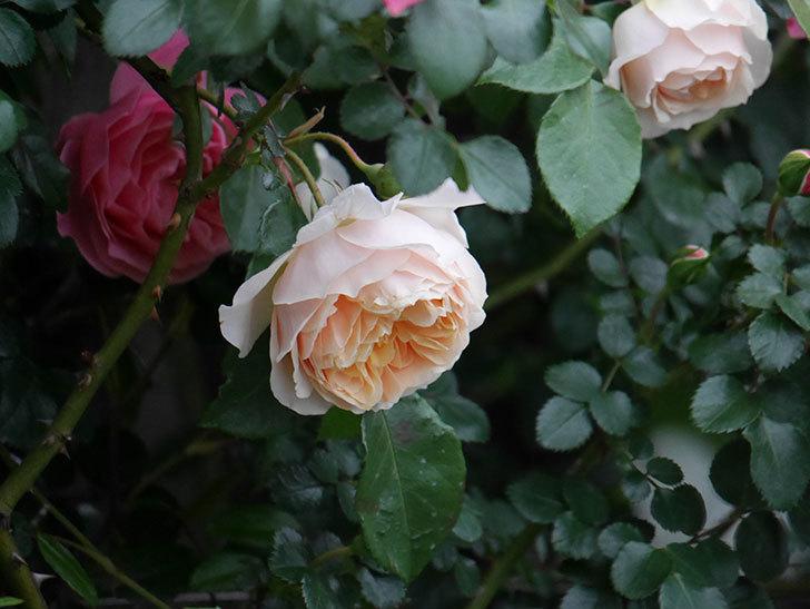 ジンジャー・シラバブ(ツルバラ)の花が増えてきた。2020年-037.jpg