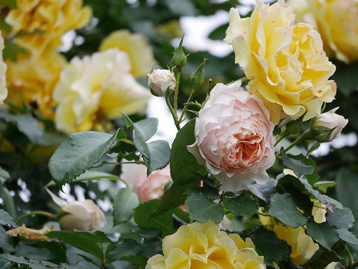 ジンジャー・シラバブ(ツルバラ)の花が増えてきた。2020年-038.jpg