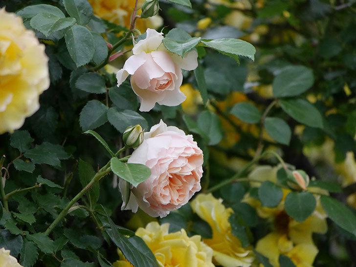 ジンジャー・シラバブ(ツルバラ)の花が増えてきた。2020年-039.jpg