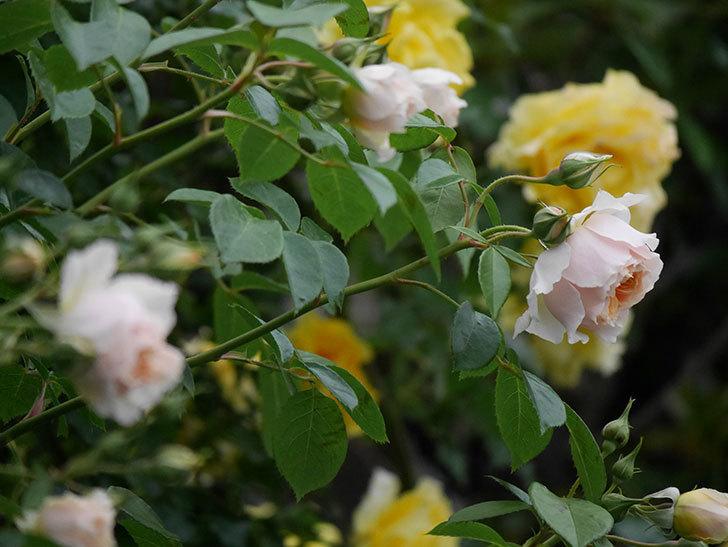 ジンジャー・シラバブ(ツルバラ)の花が増えてきた。2020年-040.jpg