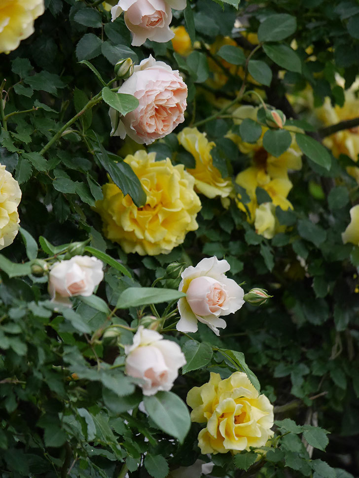 ジンジャー・シラバブ(ツルバラ)の花が増えてきた。2020年-041.jpg