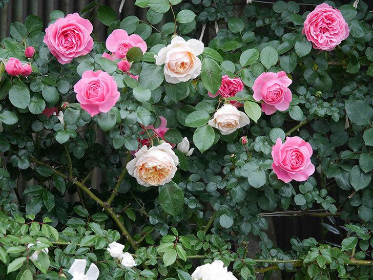 ジンジャー・シラバブ(ツルバラ)の花が増えてきた。2020年-042.jpg