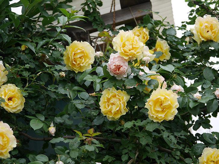 ジンジャー・シラバブ(ツルバラ)の花が増えてきた。2020年-043.jpg