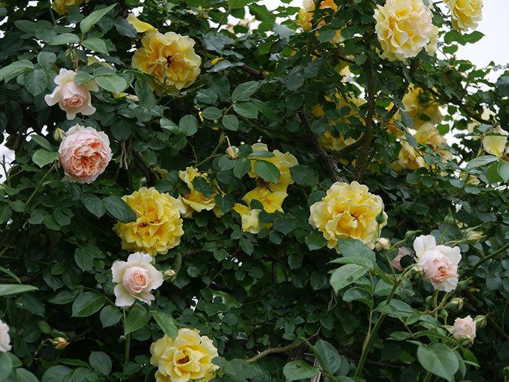 ジンジャー・シラバブ(ツルバラ)の花が増えてきた。2020年-044.jpg