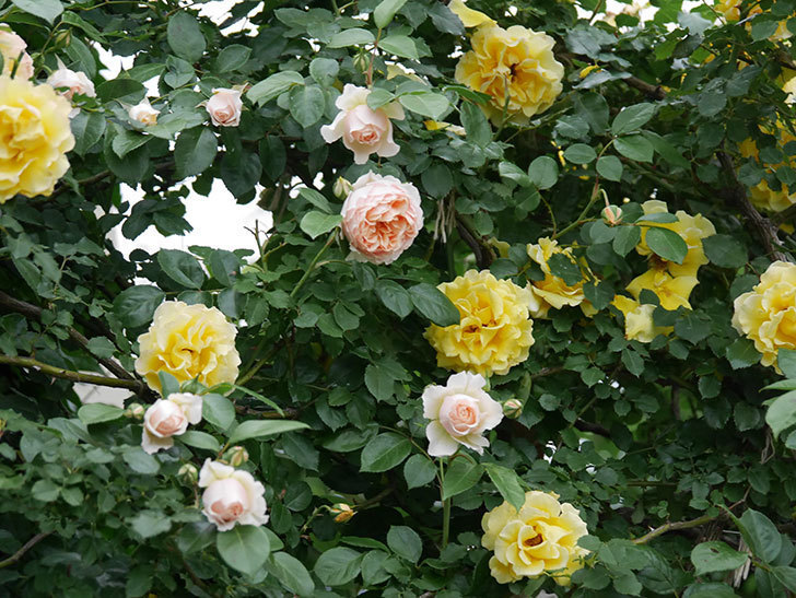 ジンジャー・シラバブ(ツルバラ)の花が増えてきた。2020年-045.jpg
