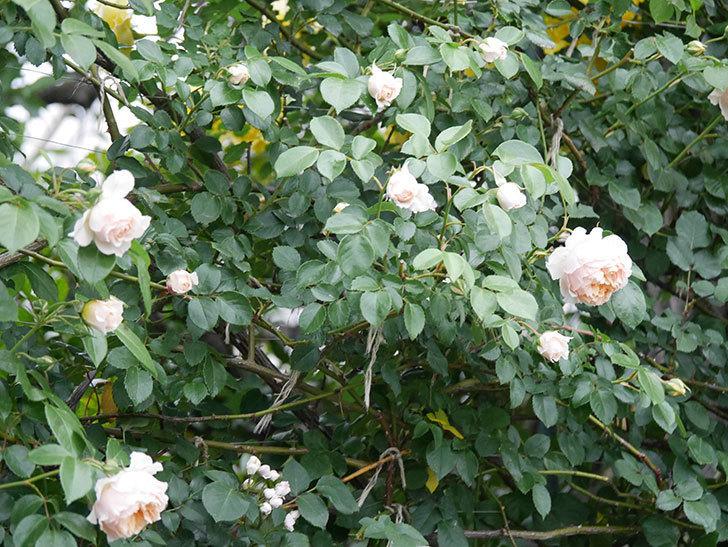 ジンジャー・シラバブ(ツルバラ)の花が増えてきた。2020年-046.jpg