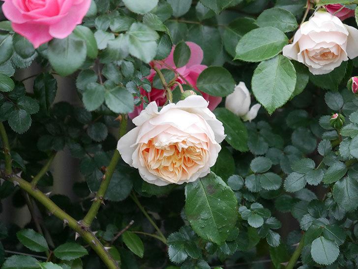 ジンジャー・シラバブ(ツルバラ)の花が増えてきた。2020年-047.jpg