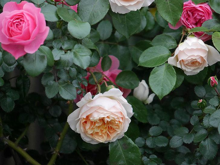ジンジャー・シラバブ(ツルバラ)の花が増えてきた。2020年-048.jpg