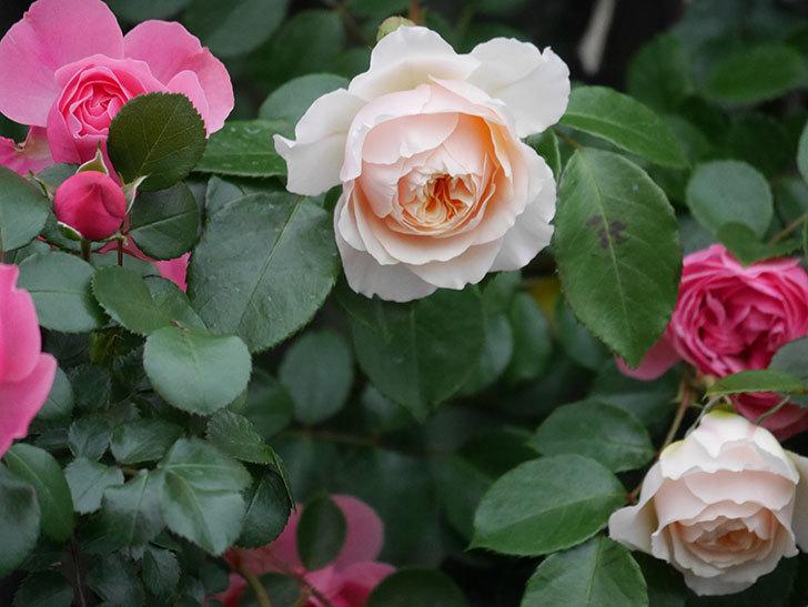 ジンジャー・シラバブ(ツルバラ)の花が増えてきた。2020年-049.jpg