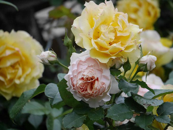 ジンジャー・シラバブ(ツルバラ)の花が増えてきた。2020年-050.jpg