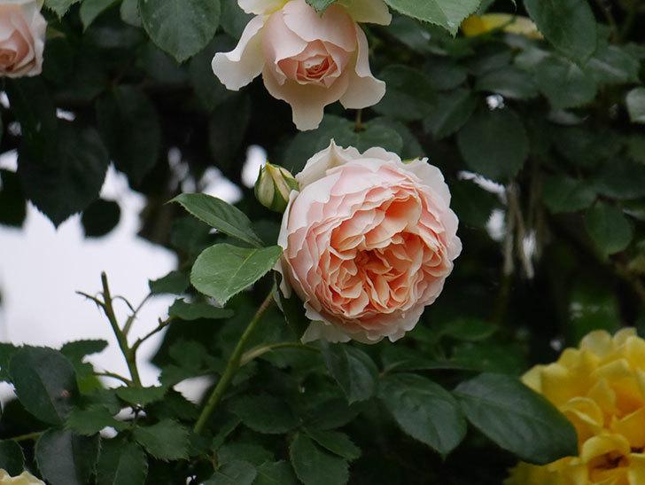 ジンジャー・シラバブ(ツルバラ)の花が増えてきた。2020年-051.jpg