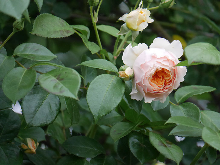 ジンジャー・シラバブ(ツルバラ)の花が増えてきた。2020年-052.jpg