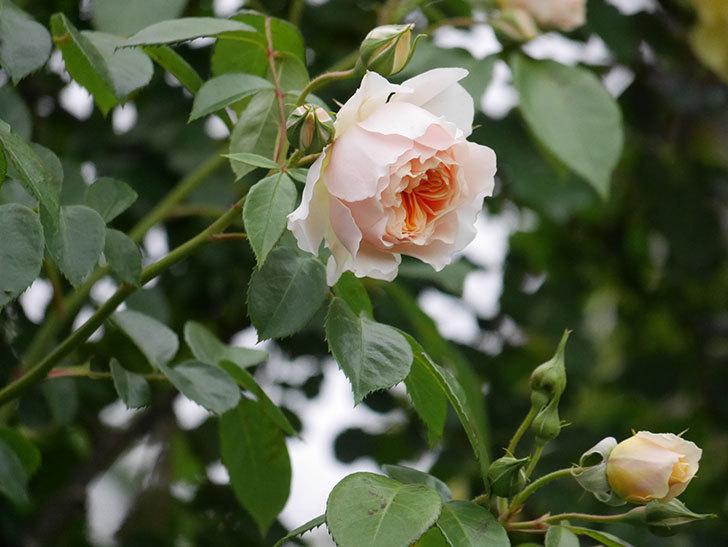 ジンジャー・シラバブ(ツルバラ)の花が増えてきた。2020年-053.jpg