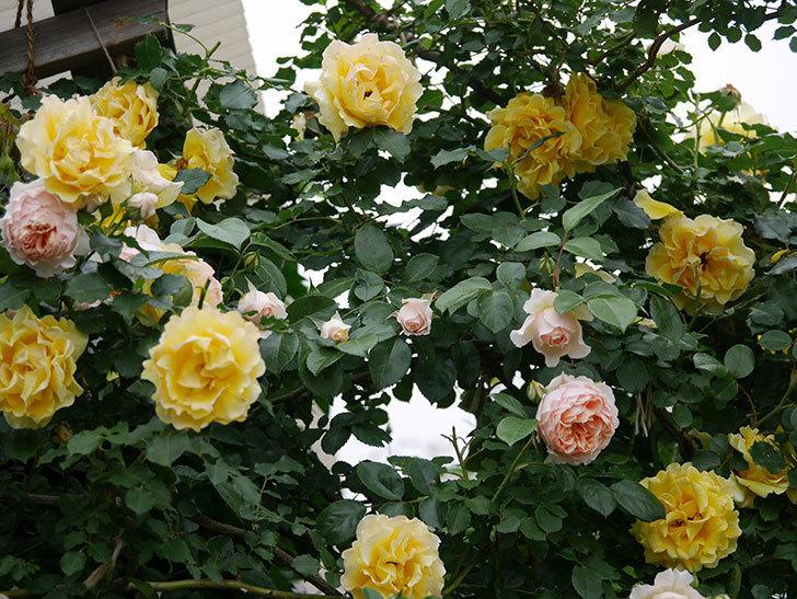 ジンジャー・シラバブ(ツルバラ)の花が増えてきた。2020年-054.jpg